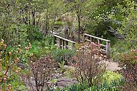 California native deciduous azalea shrub, Rhododendron occidentale early spring bud, San Francisco Botanical Garden, entry to Menzies native plant garden
