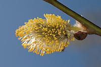 Sal-Weide, Blüten-Kätzchen, Weidenkätzchen, Weiden-Kätzchen, Kätzchen, männliche Blüten, Salweide, Saalweide, Weide, Salweide-Blüte, Salweideblüte, Salix caprea, Goat Willow, Pussy Willow, Sallow