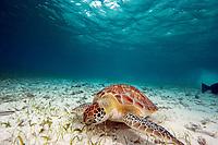 Baby green sea turtle, Chelonia mydas, feeding in the shallows