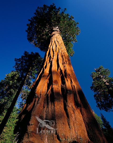 Giant sequoia tree (Sequoia gigantea), Sequoia N.P., CA.