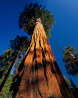 Giant sequoia tree (Sequoia gigantea), Sequoia N.P., CA.