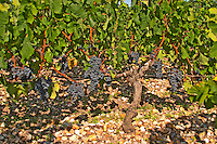 A vine with ripe Merlot grape bunches - Chateau Belgrave, Haut-Medoc, Grand Crus Classee 1855