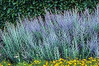 Perovskia atriplicifolia (Russian Sage), silver gray foliage flowering perennial in front of garden hedge