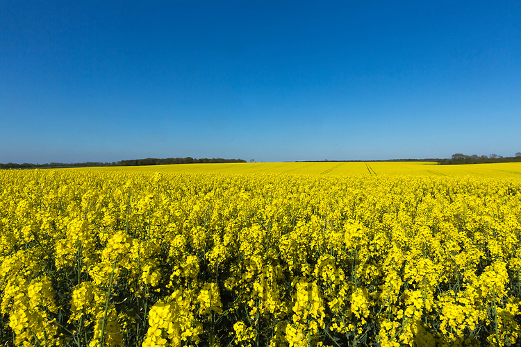 Oilseed rape in flower<br /> ©Tim Scrivener Photographer 07850 303986<br /> ....Covering Agriculture In The UK....