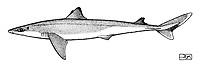 Longnose Spurdog