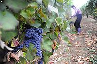 - grape harvest in the province of Piacenza....- raccolta dell'uva in provincia di Piacenza
