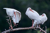White Ibis, Eudocimus albus, adults resting, Ding Darling National Wildlife Refuge, Sanibel Island, Florida, USA, Dezember 1998
