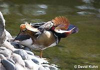 0310-1023  Preening Drake (Male) Mandarin Duck, Aix galericulata  © David Kuhn/Dwight Kuhn Photography.