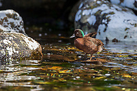 Campbell Islands Teal (Anas nesiotis), male resting on Campbell Island, New Zealand.