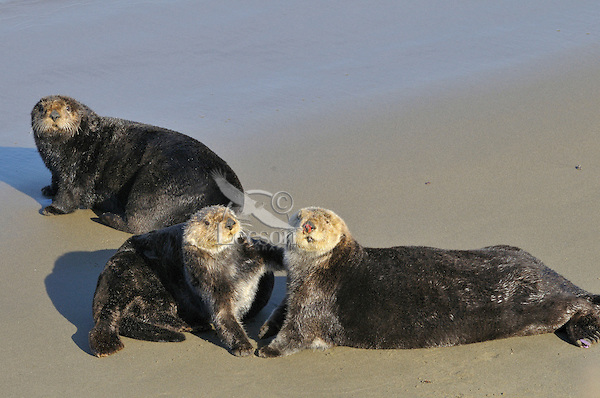 Sea Otters (Enhydra lutris) on sandy beach--while sea otters are primarily a water species, they do occasionally get out on shore for a brief periods of time.  California.