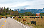 Cattle decide to see the view at a scenic turnout along the Pioneer Mountains Scenic Byway, FR484, Montana.