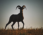Bighorn Ram at Sunrise. Image taken with a Nikon D700 camera and 80-400 mm VR lens (ISO 200, 400 mm, f/11, 1/1250 sec).