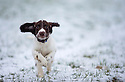 21/01/15<br /> <br /> Twelve-week-old, springer spaniel, Chester plays in snow for the first time in Ashbourne, Derbyshire.<br /> <br /> All Rights Reserved - F Stop Press.  www.fstoppress.com. Tel: +44 (0)1335 300098