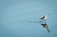 The Black-winged Stilt is a common bird throughout the southern African region. Its advantage over fellow wading species in the search for food is it's exceptionally long legs. It is therefore often the first to arrive in tidal estuaries as waters recede, and the last to leave as they rise.
