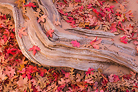 Autumn leaves and a sensual tree root in Zion National Park, Utah.