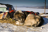 Tollef Monsons dog *Guy* snoozes on bed of straw in Ruby w/Yukon River in background 2006 Iditarod
