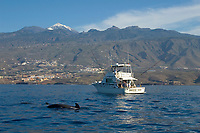 Short finned pilot whales (Globicephala macrorhynchus) in Tenerife, Canary islands, Spain, Atlantic