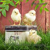 Xavier, EASTER, OSTERN, PASCUA, photos+++++,SPCHCHICKS54,#e#, EVERYDAY ,chicken
