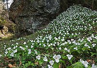 A carpet of Large-flowered Trillium (Trillium grandiflorum) covers a riverbank in a dolomite gorge in April. Highland County, Ohio, USA. This beautiful flower is the official state wildflower of Ohio.