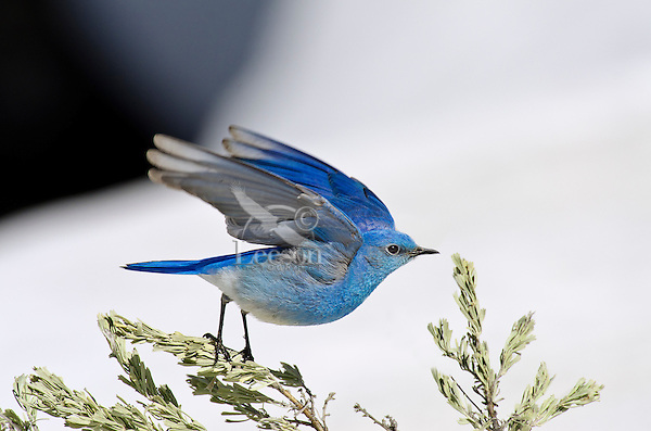 Male Mountain Bluebird (Sialia currucoides).  Western U.S., May.