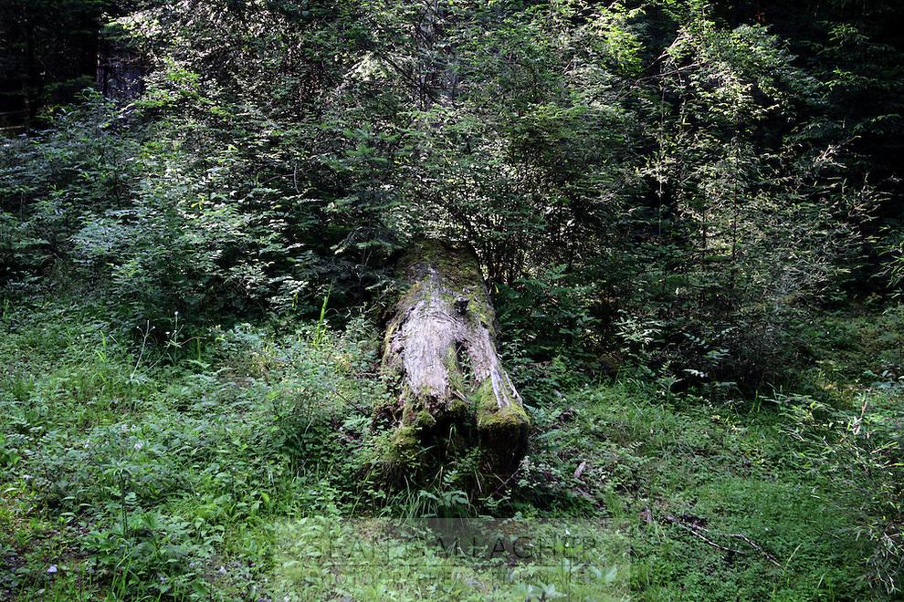 A fallen tree in the Jiuzhaigou National Park. Sichuan Province. China.