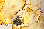 Mexico, Baja California, Catavina, Elephant Tree Trunk Detail (Pachycormus discolor)