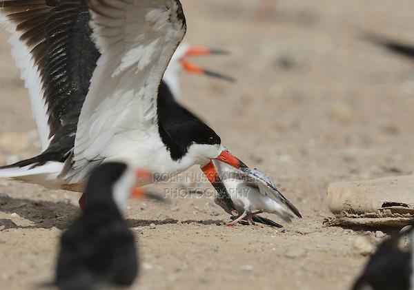 Black Skimmer (Rynchops niger), adult skimmer attacking baby Least Tern (Sterna antillarum) , Port Isabel, Laguna Madre, South Padre Island, Texas, USA