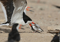 Black Skimmer (Rynchops niger), adult skimmer attacking baby Least Tern (Sterna antillarum) , Port Isabel, Laguna Madre, South Padre Island, Texas, USA