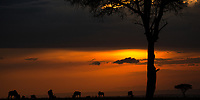 Wildebeests and Acacia tree silhouettes with colorful and cloudy sunset in Masai Mara park, during the great migration between Kenya and Tanzania
