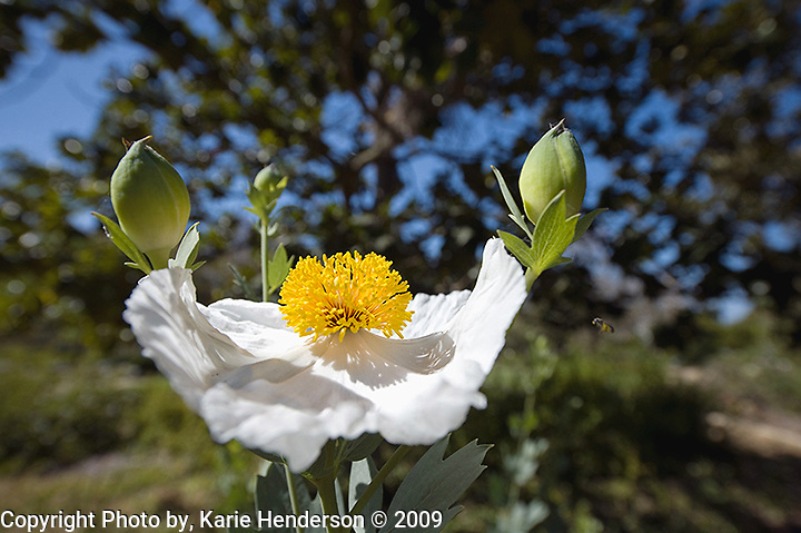 A Matilija Poppy, Romneya coulteri, blooms in Alice Keck Park Memorial Gardens in Santa Barbara, California.  The Matilija Poppy is a native Californian shrub perennial that grows below 4000ft. away from the immediate coast.  The name is reported to come from Chumash Indian Chief Matilija from Ventura County.  It is included in the California Native Plants Society's (CNPS) invetory of rare and endangered plants.