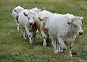 07/06/09 - LIVRADOIS - PUY DE DOME - FRANCE - Vaches Charolaises - Photo Jerome CHABANNE