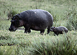 Hippopotamus and calf, Masai Mara National Reserve, Kenya