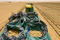 EGYPT, Farafra, potato farming in the desert, harvest and loading on trucks at United Farms, the large fields are irrigated by Pivot circle irrigation systems, the fossile groundwater from the Nubian Sandstone Aquifer is pumped from 1000 metres deep wells  / AEGYPTEN, Farafra, United Farms, Kartoffelanbau in der Wueste, Verladung nach der Ernte auf LKW, die kreisrunden Felder werden mit Pivot Kreisbewaesserungsanlagen mit fossilem Grundwasser des Nubischer Sandstein-Aquifer aus 1000 Meter tiefen Brunnen bewaessert