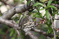 February 23 2010.  San Diego, California, USA:  A humming bird feeds a chick in a backyard in Pacific Beach.  While much of the rest of the US struggled through blizzard conditions, early signs of spring were visible in Southern California.