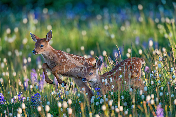 Columbian black-tailed deer (Odocoileus hemionus columbianus) fawns playing among wildflowers. Pacific Northwest.  Summer.