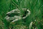 Garter Snake, Northwestern garter snake, Skagit River estuary, Washington State, Pacific Northwest, USA