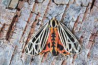 Parthenice Tiger Moth (Grammia parthenice) shows colorful abdomen and hindwings as it lands on birch bark. Summer. Nova Scotia, Canada.