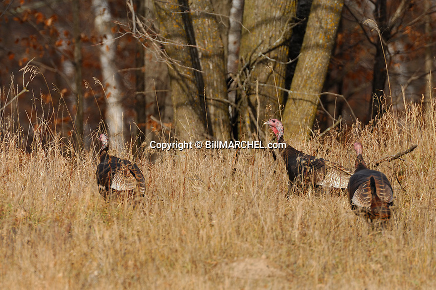 01225-088.14 Wild Turkey: Three adult eastern toms are feeding in meadow along edge of oak forest duirng fall.  Hunt, acorn.  H2E1