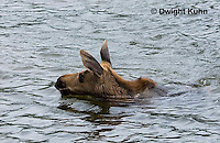 MS08-505z   Calf Moose, 2 months old following its mother into a Maine pond, Alces alces.