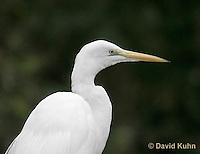 0111-0949  Great Egret, Detail of Head and Beak, Ardea alba  © David Kuhn/Dwight Kuhn Photography