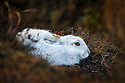 Mountain Hare {Lepus timidus} on moorland with white winter coat. Kinder Scout, Peak District National Park, Derbyshire, UK. February.