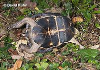 1003-0811  Male Eastern Box Turtle Upside Down Trying to Right Itself - Terrapene carolina © David Kuhn/Dwight Kuhn Photography.