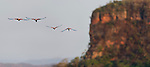Two Pairs of Red-and-Green Macaws or Green-winged Macaws (Ara chloropterus) (Family Psittacidae) in flight above the gorge at Véu de Noiva. Chapada dos Guimarães, Brasil.