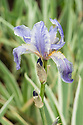 Iris pallida ' Argentea Variegata', late May. Also known as Dalmatian or Silver Variegated Iris.