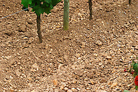 A detail of the soil at Chateau La Fleur Petrus (lafleur), more pebbles in the clay compared to Petrus across the road  Pomerol  Bordeaux Gironde Aquitaine France