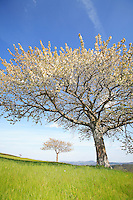 On the plateaux of Ardeche near Lamastre, a cherry tree in full bloom announces spring. The lateness of its flowering is due to altitude and coincides with that of wild cherry. Arboriculture is developing in the area as it allows to delay the fruit maturity.