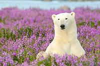 polar bear, Ursus maritimus, relaxing in field of purple fireweed flowers, Epilobium angustifolium, on sub-arctic island at Hubbart Point, Hudson Bay, near Churchill, Manitoba, northern Canada, polar bear, Ursus maritimus