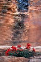 Slickrock paintbrush along Pine Creek<br /> Clear Creek Canyon<br /> Zion National Park<br /> Colorado Plateau,  Utah