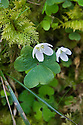 Wood sorrel (Oxalis acetosella), early April.