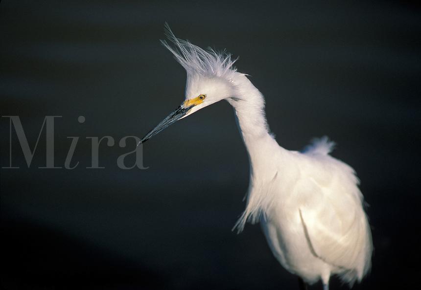 Snowy Egret (Egretta thula) waiting, south Florida